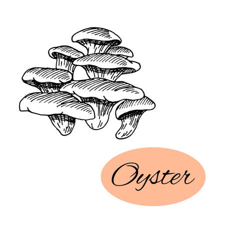 Sketch of oyster. Black hand drawn mushrooms on white background. Vector illustration