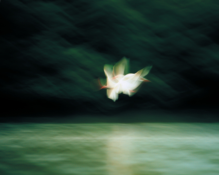 motion blurred White Ibis in flight over water