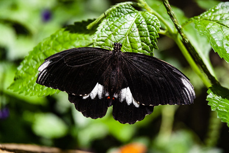 papilio swalllowtail butterfly on leaf Stock Photo