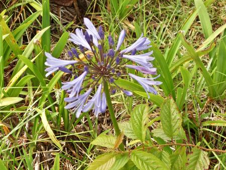 Blue wood-aster bloom Imagens