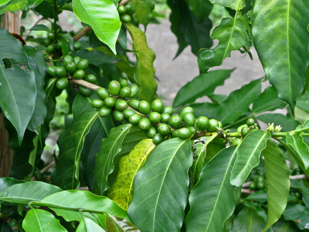 coffee beans on tree 免版税图像