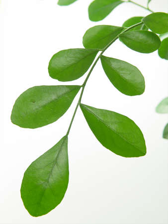 rutaceae: isolated leaf of  Stock Photo