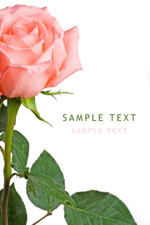 position d amour: rose rose sur fond blanc avec c�t� droit copie espace pour l'�chantillon texte  Banque d'images