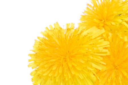 hand position: �rbol de flores de diente de le�n macro, mano derecha. Copiar espacio para el texto
