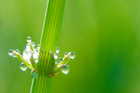 macro dew on grass, green grass natural background, copy space for the text photo