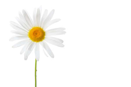 handed: macro isolated white daisy bud with stem,  left handed position, copy space for the text