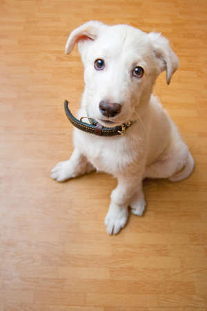 stitting: white domestic puppy on the floor