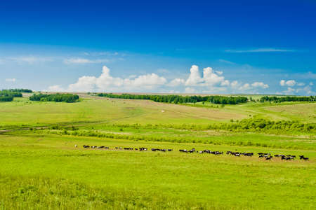 grazing cows on pasture, blue sky and clouds