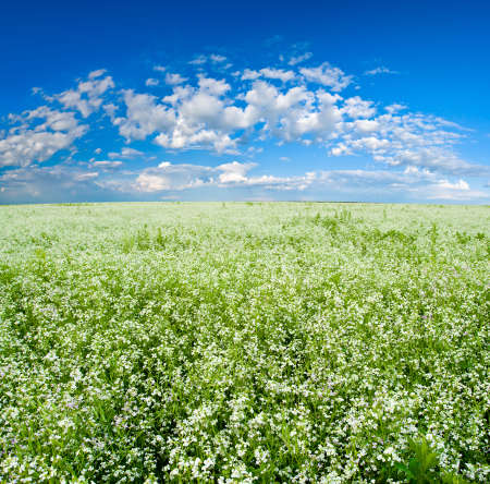 blooming field with blue skies photo