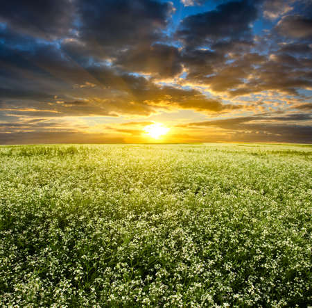 orange sunset over blooming white field Stock Photo - 5250990