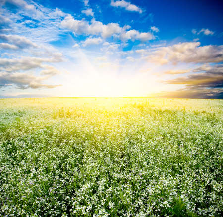 sunset over the blooming white field Stock Photo - 5250996