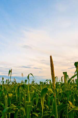 corn field under sunset Stock Photo - 5524719