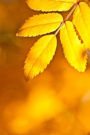 autumn yellow foliage background photo