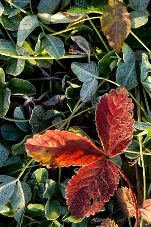 autumn morning rime on grass photo