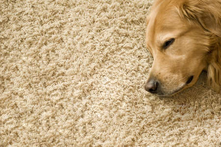 cosy: A big dog sleeping on a cosy carpet
