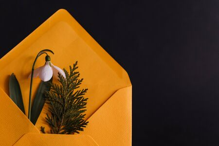 Snowdrop and spruce twig in an yellow envelope, ready to be sent as a welcome to spring card, on a black background, shadows seen on the envelope from the snowdrop stem and from the spruce, front view and black background, may month, product photography