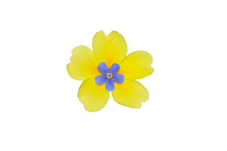 Isolated yellow flower of primrose primrose on white background