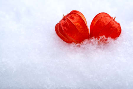 Two hearts of physalis are lying nearby in the snow