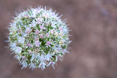 Allium ball-shaped flower on a brown background Stock Photo