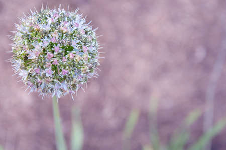 Allium ball-shaped flower on the stem on a lilac background