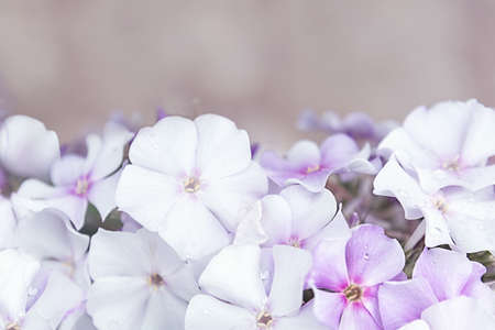 A bush of white and purple phloxes on a gray background