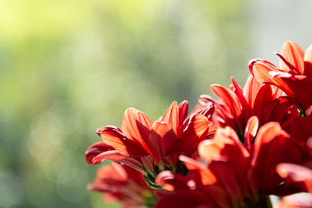 A bouquet of red chrysanthemums on a green background