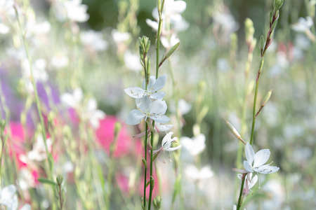 White small flowers against the background of a blooming field. 写真素材