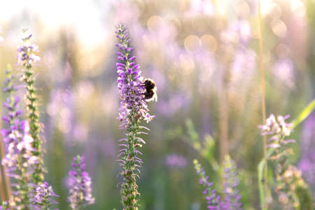 View of the bumblebee that sits on a sprig of Veronica 写真素材