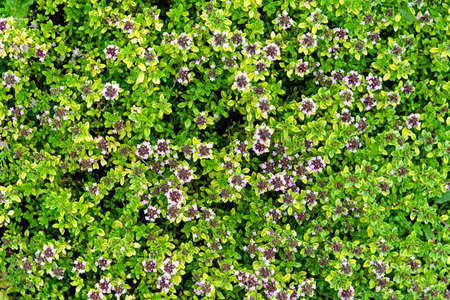 Glade of thyme flowers that grows on an alpine slide Reklamní fotografie