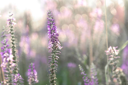 Sprig of Veronica flower with pink flowers on the background with bokeh 写真素材