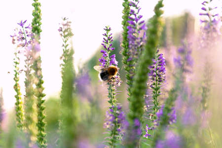 View of the bumblebee that sits on a sprig of Veronica Reklamní fotografie