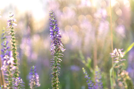 Sprig of Veronica flower with lilac flowers on the background with bokeh