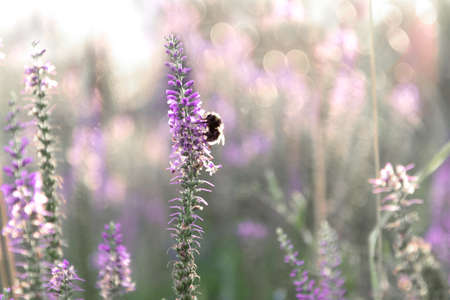 View of a bumblebee that sits on a sprig of Veronica with pink flowers