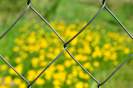 View of the field of dandelions over the mesh chain-link Reklamní fotografie