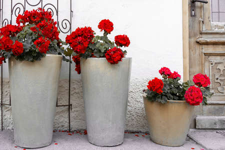 High ceramic pots with red geraniums stand near the front door to the house