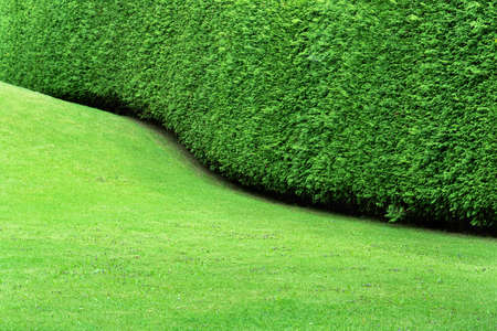 View of the hedge in the form of a undulating continuous wall of thuja and a smooth green lawn. The formation of a bush during plant growth. Concept background, texture, plant care, pruning and cutting