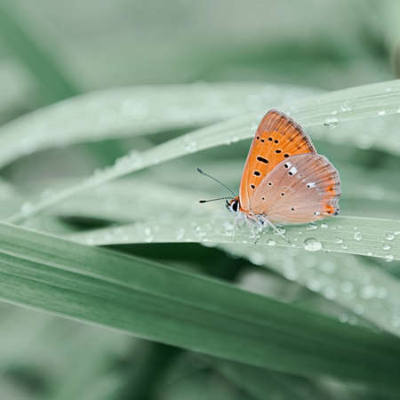 An orange butterfly sits on grass covered with morning dew. Concept background, insects, wildlife, spring