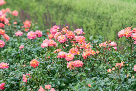 View of orange and pink spray roses that grow in a solid wall