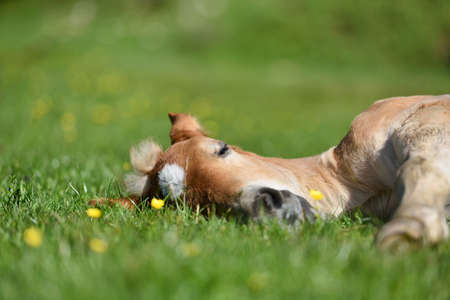 Little foal having a rest in the green grass with flowers Archivio Fotografico