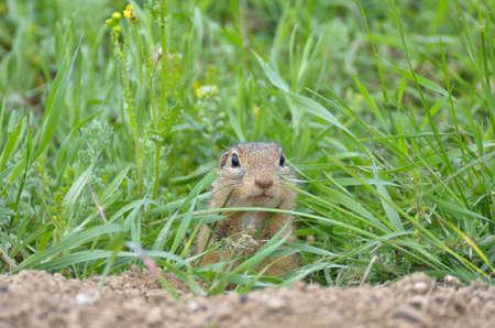 Cute European ground squirrel (Spermophilus citellus, Ziesel, Gopher) hiding in the grass