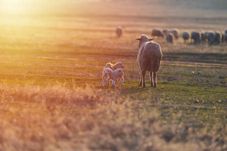 Two newborn lambs and sheep on field in warm sunset light Imagens