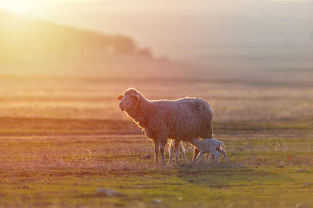 Two newborn lambs and sheep on field in warm sunset light Foto de archivo