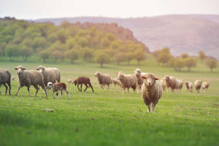 Flock of sheep on fresh spring green meadow during sunrise