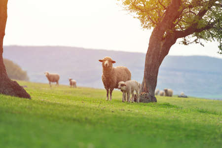 Corderito lindo en prado verde de manantial durante el amanecer