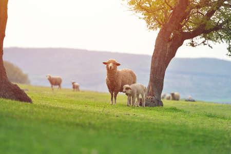 Nettes kleines Lamm auf frischer Frühlingsgrünwiese während des Sonnenaufgangs