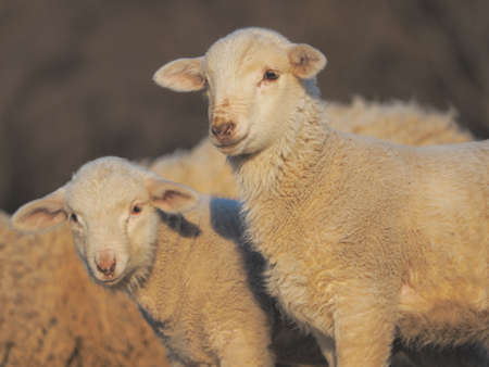 Cute little lambs looking at the camera during sunset warm light