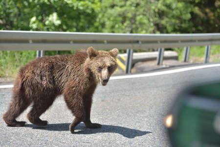 Wild brown bear crossing the street in search for food 版權商用圖片 - 130818681