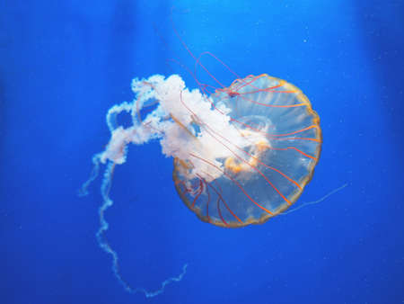 Beautiful translucent pink jellyfish swim against the backdrop of a gradient blue sea. Chrysaora fuscescens
