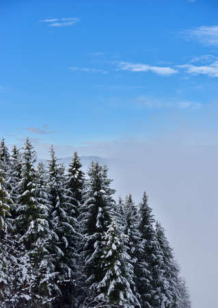 Fir trees full of snow on cold winter in mountain landscape