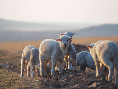 Young Lamb being curious on farm, sunset light 免版税图像 - 146400414